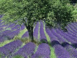 Lavender field2